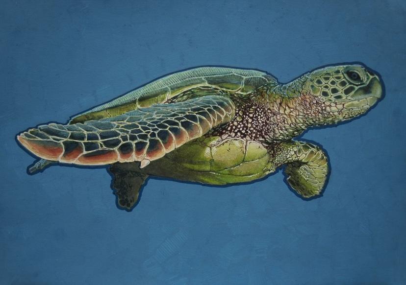 Carlos J. Marquez - Green Sea Turtle