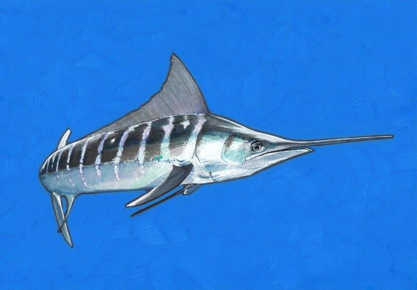 Carlos J. Marquez - White Marlin